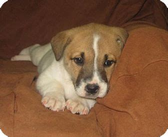 puppy palace nh salem nh labrador retriever st bernard mix meet dasher a puppy for adoption