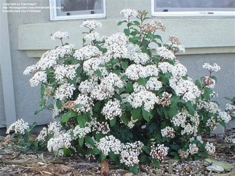 viburnum tinus vaso 10 viburnum facili da coltivare per siepi colorate e