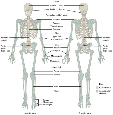 back diagram skeleton diagram front and back human skeleton front and