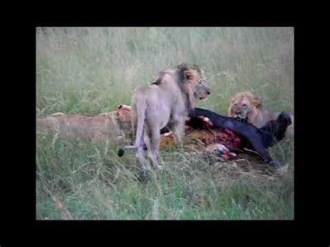 4. leones comiendo búfalo tras cacería (lions eating