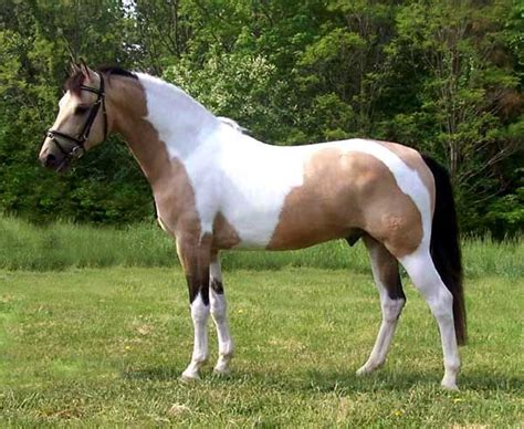 quot maxamillion quot buckskin warmblood stallion pinto paint horses paint horses