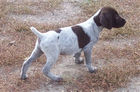english setter dog pictures english setter dog pictures photos and images photo