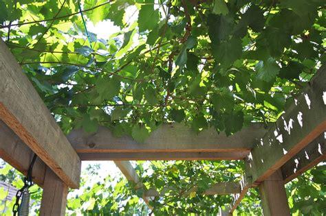 urban harvest  pergola  grapes pergola