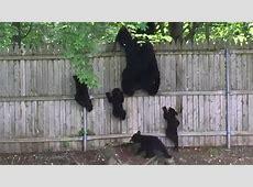 Mama Bear, 4 Cubs Climb Backyard Fence - NBC 6 South Florida 2017 Cubs Schedule Calendar