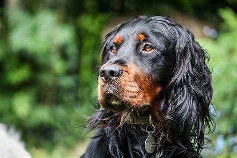 gordon setter dog names 82 best gordon setter images on pinterest gordon setter