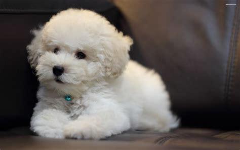 bichon frise alimentazione album cani di razza bichon fris 233 petpassion