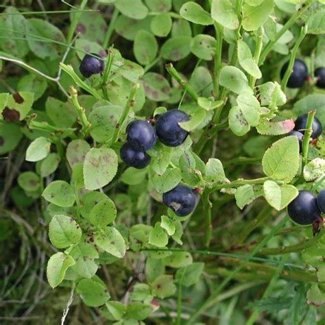 pianta di mirtillo in vaso mirtillo vaccinium myrtillus vaccinium myrtillus