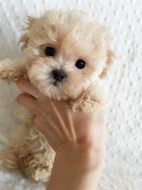 maltipoo puppies teacup maltipoo puppies www pixshark images galleries with a bite