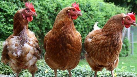 galline da cortile parassiti dei polli e altre malattie delle galline