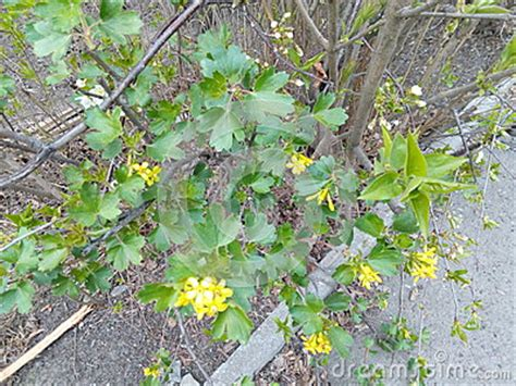 green shrub with yellow flowers green shrub with small yellow flowers stock photo image