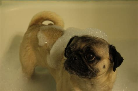 pug tub rub a dub dub pug in a tub about pug