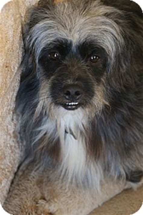 havanese rescue nj ragsdale adopted bedminster nj havanese lhasa apso mix