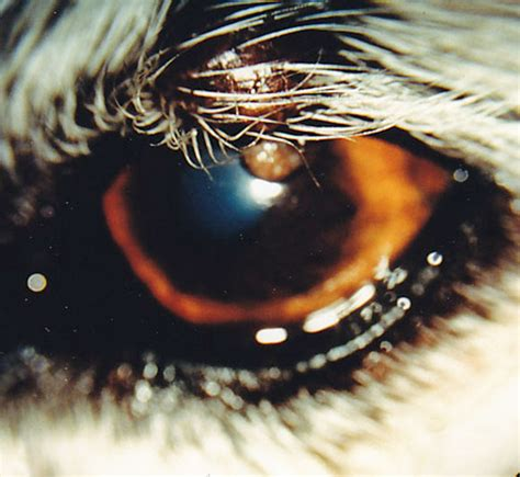 how many eyelids do dogs canine eyelid diseases animal eye care