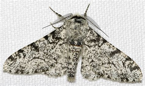 Peppered Moth peppered moth simple the free