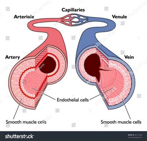 labeled artery diagram anatomy blood vessels artery through capillaries stock