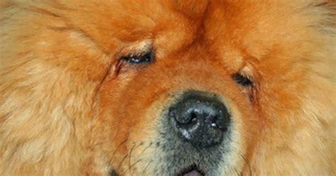 pemphigus foliaceus in dogs autoimmune pemphigus foliaceus diseases in dogs ehow uk