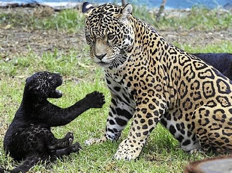 imagenes de jaguar bebe beb 233 s otorongos mel 225 nicos beb 233 s jaguar mascotas taringa