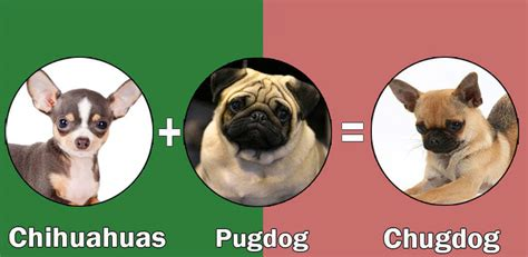 cross breed pug top 10 cross breeds designer of pug by dogmal