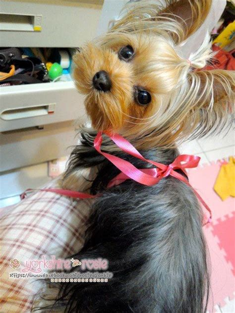 cutting teacup yorkie hair 25 best ideas about yorkie hairstyles on pinterest