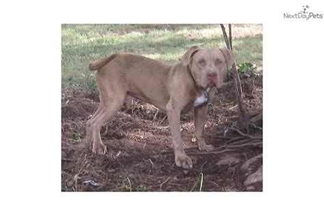 pitbull puppies for sale in nc raleigh american pit bull terrier for sale for 225 near raleigh durham ch