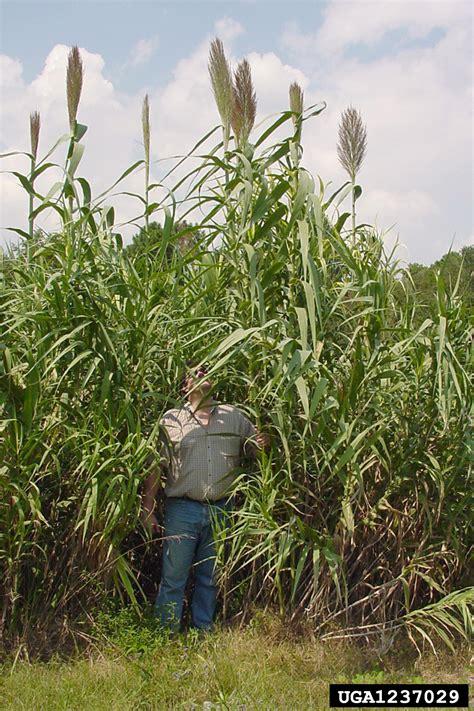giant reed arundo donax cyperales poaceae