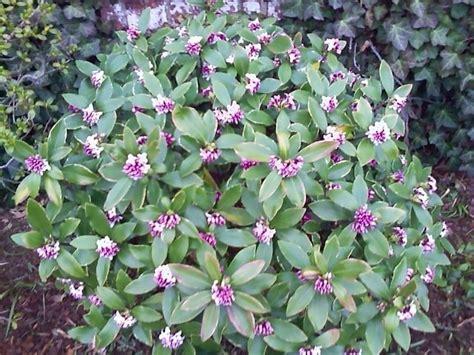 flowering shrub identification help flowers forums - Shrub Identification By Flower