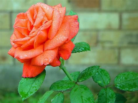 beautiful orange beautiful orange rose flower hd wallpapers flowers hd