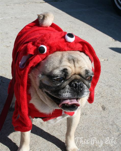 pug dress up pug dresses up this pug