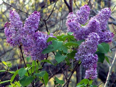lilacs flowers lilacs sherry s place