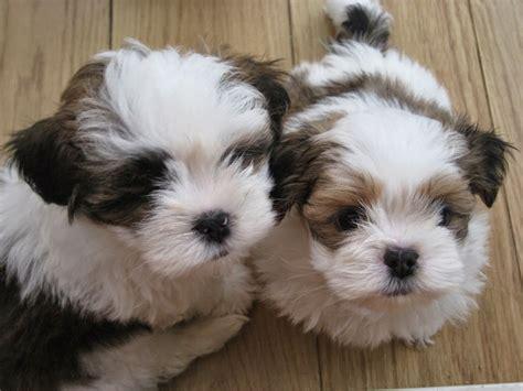 rules   jungle lhasa apso puppies