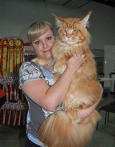 giant house cat the big maine coon cat