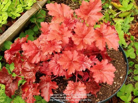 coral bells coral bells plant care and collection of varieties garden org