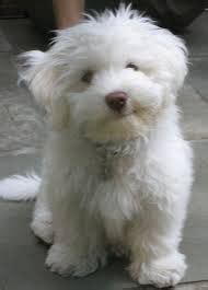 what does a havanese look like breeds of small dogs best small breeds havanese breed standard my favorite