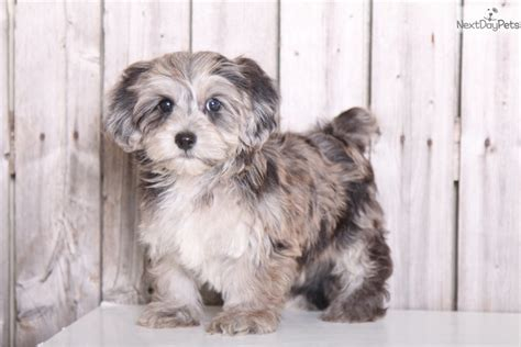 grey yorkie poo winston yorkie poo black grey terrier for sale in columbus oh