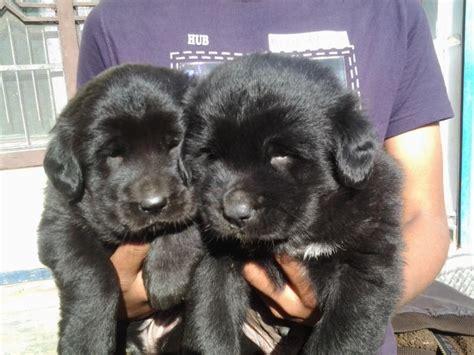 neapolitan mastiff puppies price neapolitan mastiff puppies for sale sam emanwell 1 10596 dogs for sale price of
