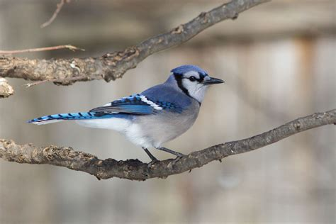 birds the blue jay is not everyone s favorite bird but