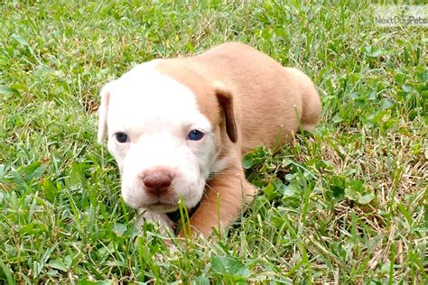 puppies for sale illinois american bulldog puppy for sale near southern illinois