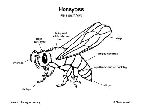bumble bee diagram honeybee labeling page images frompo