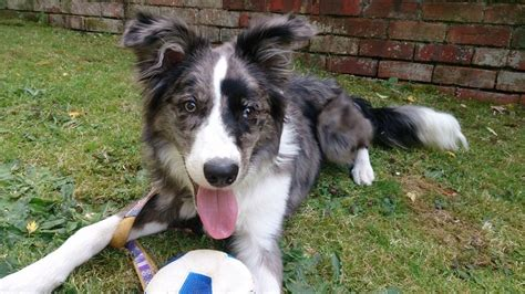 blue merle border collie puppies for sale beautiful blue merle border collie for sale reading berkshire pets4homes