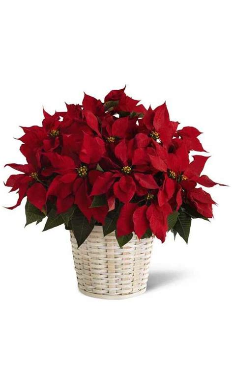 poinsettia plants perfect gift for christmas