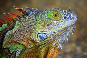 colorful lizard colorful lizard pentaxforums