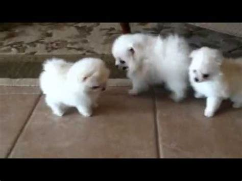 how for puppies white pomeranian puppies for sale