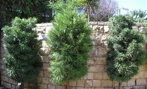 tanaman pohon unik lohansung