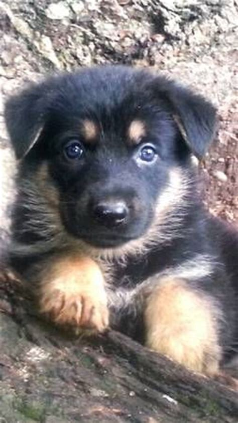 german shepherd puppies craigslist 17 best images about german shepherd puppy part 2 closed on german