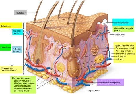 diagram of the dermis dermis layers papillary layer function epidermis