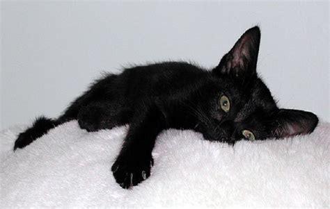 gatti persiani neri il carattere tuo gatto ce lo rivela il colore pelo