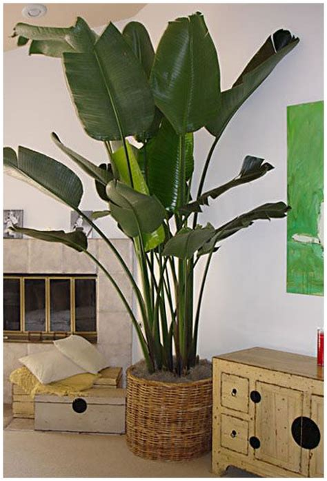 growing tropical plants indoors grow tropical indoor plants the garden glove