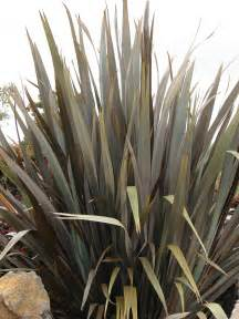 caring for new zealand flax plant how to grow new