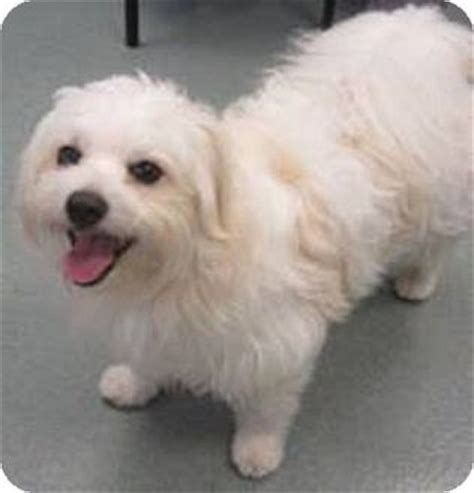 havanese rescue indiana crisco adopted bloomington in havanese maltese mix