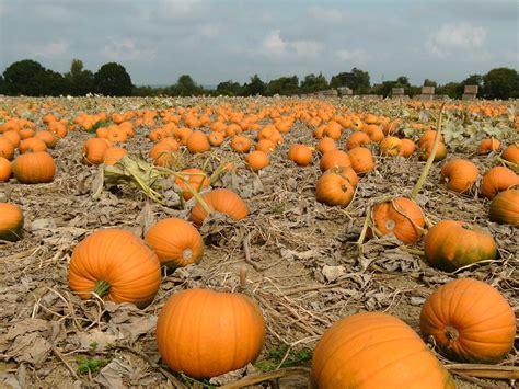 images of pumpkins for dan mackelden your own pumpkin